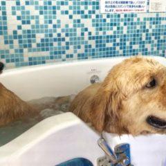 しば犬のレオン君10才とゴールデンレトリーバーのリュウ君7才